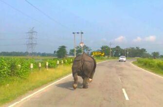 Носорог выбежал на дорогу и распугал все автомобили